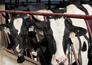 Rancher cows