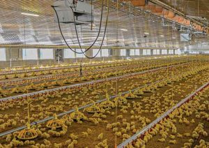 Rancher poultry-shed